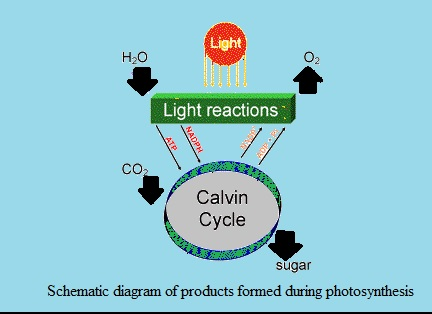 Show with a schematic diagram the different products of here is the schematic diagram that shows products formed during photosynthesis ccuart Choice Image