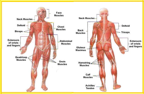 Draw And Label A Muscular System 9193221 Meritnation