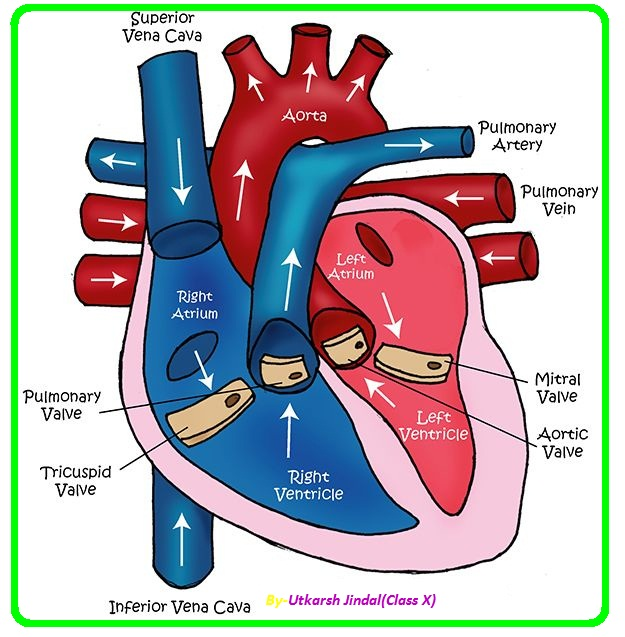 draw a schematic diagram of human heart | meritnation, Muscles