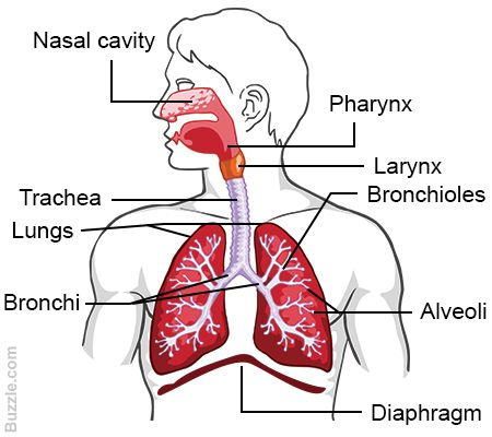 Draw A Schematic Labelled Diagram Of Human Respiratory System