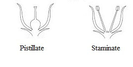 Draw a figure of cucurbit plant to show and show staminate and following diagrams show staminate and pistillate flowers in cucurbita ccuart Choice Image