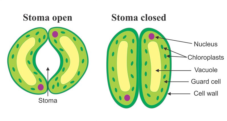 describe the structure of stomata Science Life Processes ...