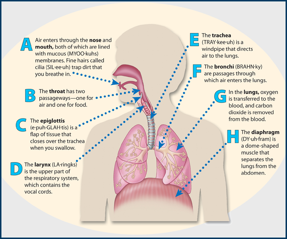 Science8: Semester 1, Chapter 4 - Respiratory System |Respiratory System Organs And Functions