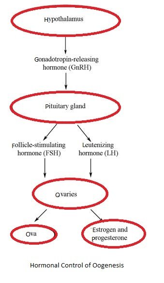Explain the effect of hormones during oogenesis with the help of hope this information will clear your doubts about the flow chart of hormonal control of oogenesis if you have any more doubts just ask here on the forum ccuart Images
