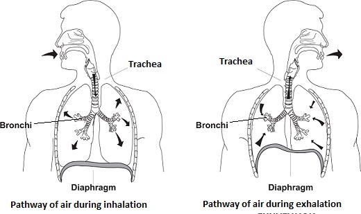 trace the pathway of air in a human body during inhalation