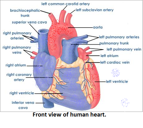 Draw a diagram of the front view oh human heart and label and 6 expert answer ccuart Image collections