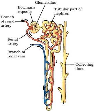 Draw a well labeled diagram of nephron 9583605 meritnation was this answer helpful ccuart Gallery