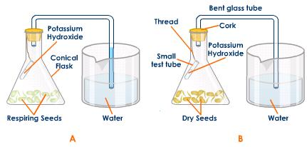 an overview of the experiment the rate of respiration with yeast Effect the respiration rate of yeast and which type of concentration works best â use the same sugar and yeast for all experiment as some sugars break.