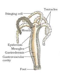 Hydra Diagram Of Coelenterate - Wiring Diagram •