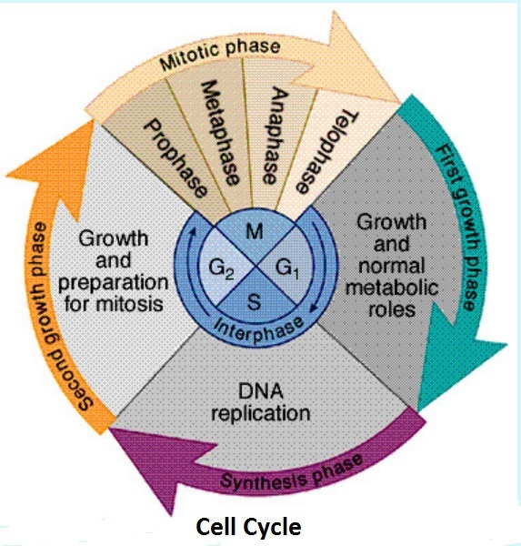explain cell cycle with the help of a neat diagram - biology - cell cycle and cell division ... cell cycle diagram with answers