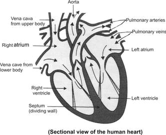 draw well labeled structure of human heart | meritnation, Muscles