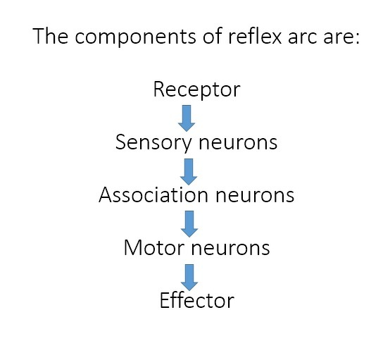Wat is reflex arc explain with flowchart science control and reflex arc is the path followed by nerve impulses to produce the reflex action ccuart Choice Image