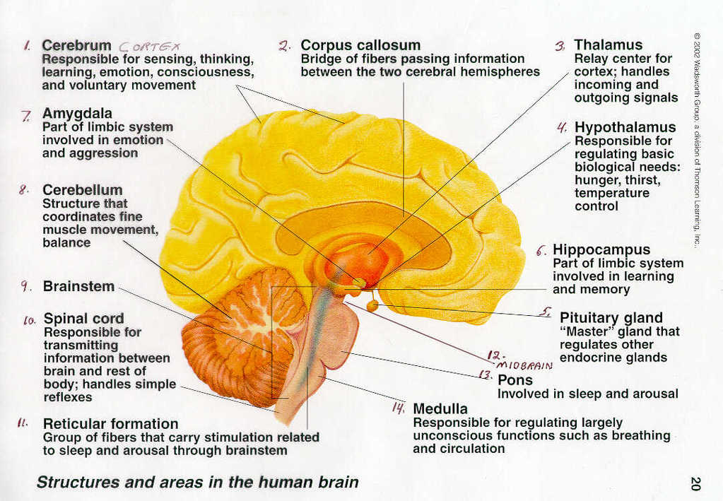 Explain All The Parts Of The Brain And Its Functions Science Control