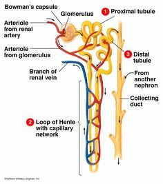 I Want Clean And Easy Diagram Of Nephron Science Life Processes