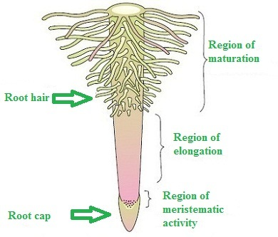 Describe Root Regions And Structure Of Root Hair Biology Transport