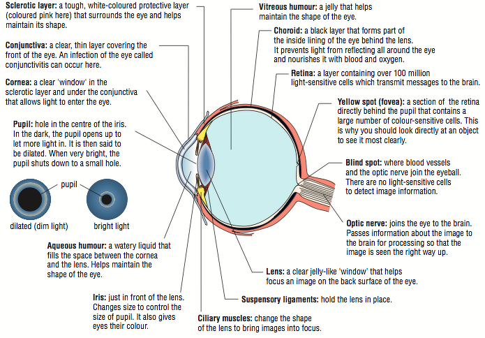 parts and functions of the eyes Getting to know your eyes: different eye parts and their functions for such a  small organ, the eye is a complicated part of the human anatomy—in fact, it might .