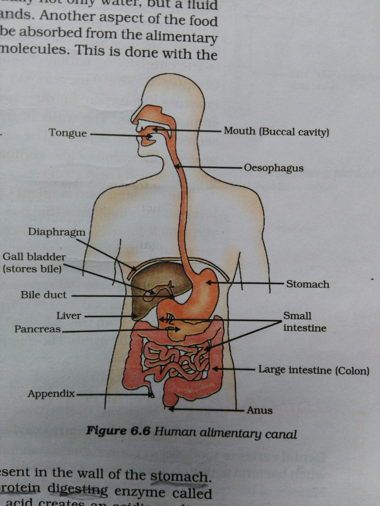 6 Draw A Diagram Of Human Alimentary Canal And Label On It A Organ