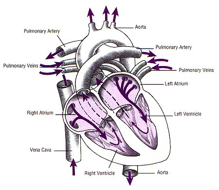 diagram of a heart - Science - Transportation in Animals ...