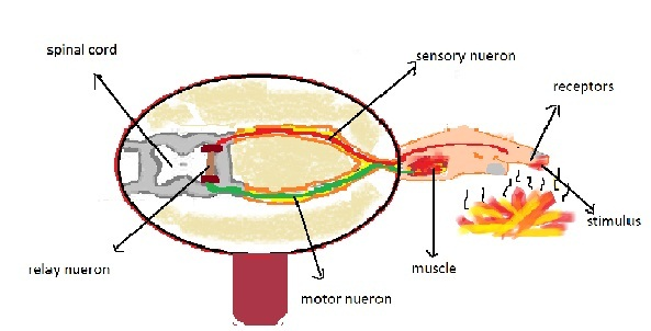 What is reflex arc draw neat diagram of the components in a reflex 1 this is the stucture of reflex arc ccuart Choice Image