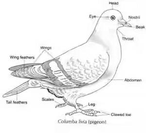 diagrams of spparow pigeon earth warm and fish science diversity Mammal Diagram diagrams of spparow pigeon earth warm and fish science diversity in living organisms 11055625 meritnation com