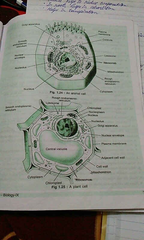 Draw a neat labelled diagram of typical plant and animal cell with please find this answer ccuart Images