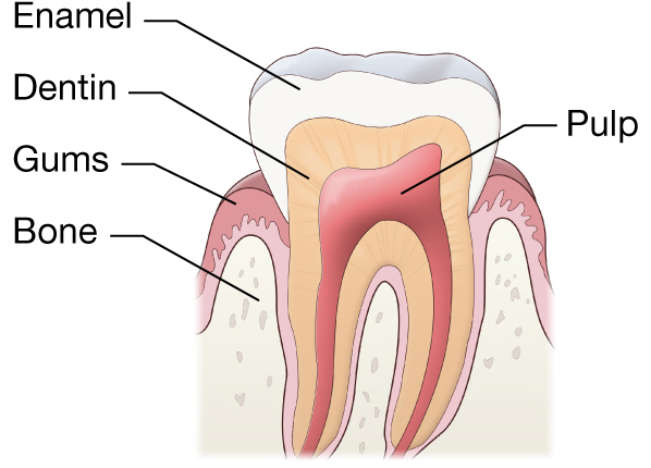 Describe the parts of our tooth with the help of labeled diagram pulp the softer living inner structure of teeth cementum a layer of connective tissue that binds the roots of the teeth firmly to the gums and ccuart Choice Image