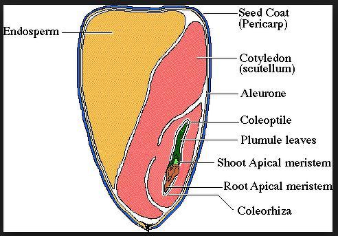 Sketch The Label Structure Of Monocot Seed Biology
