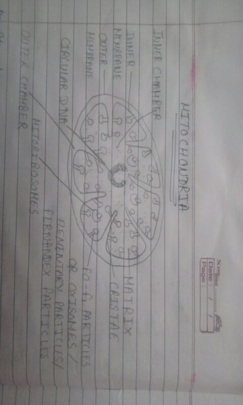 Draw A Well Labelled Diagram Of Mitochondria Science The