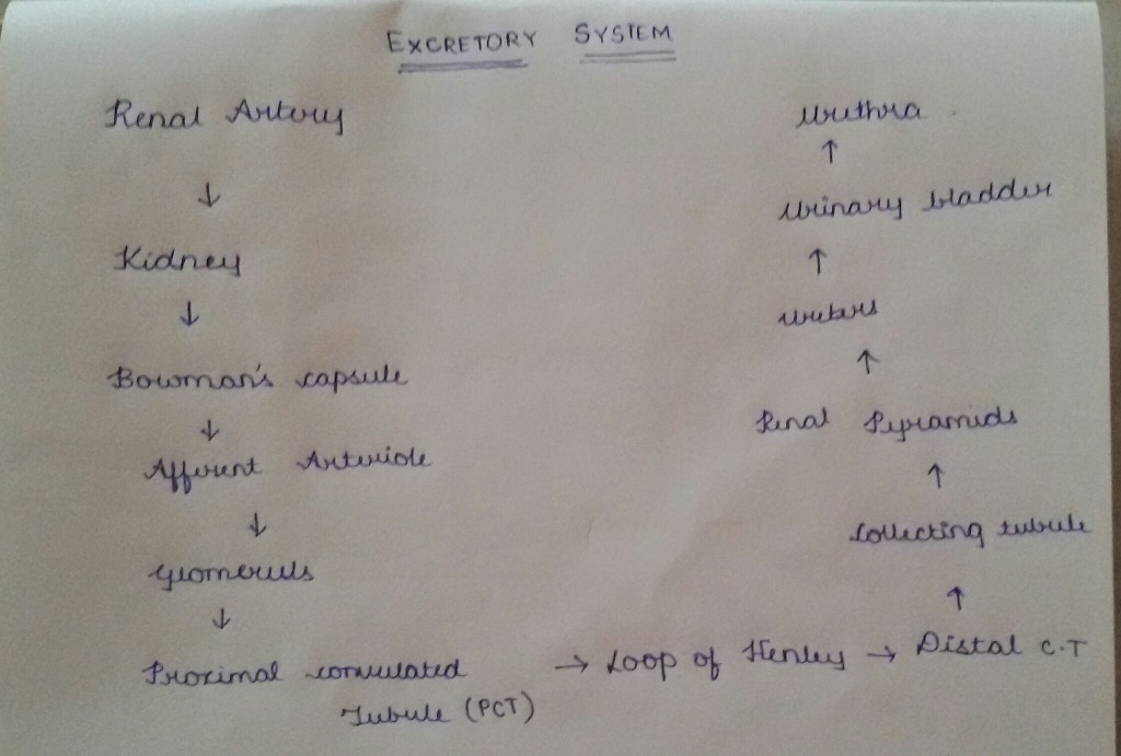 Flow Chart Representing Circulatory System And Excretory Systems In
