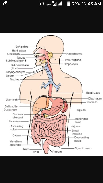 Draw A Suitable Diagram Of Human Alimentary Canal And