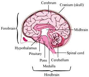 Give a Diagram of Brain and Lungs - Science - Respiration ...