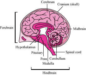 18 A I Draw A Neat Diagram Of Human Brain And Ii Label Medulla
