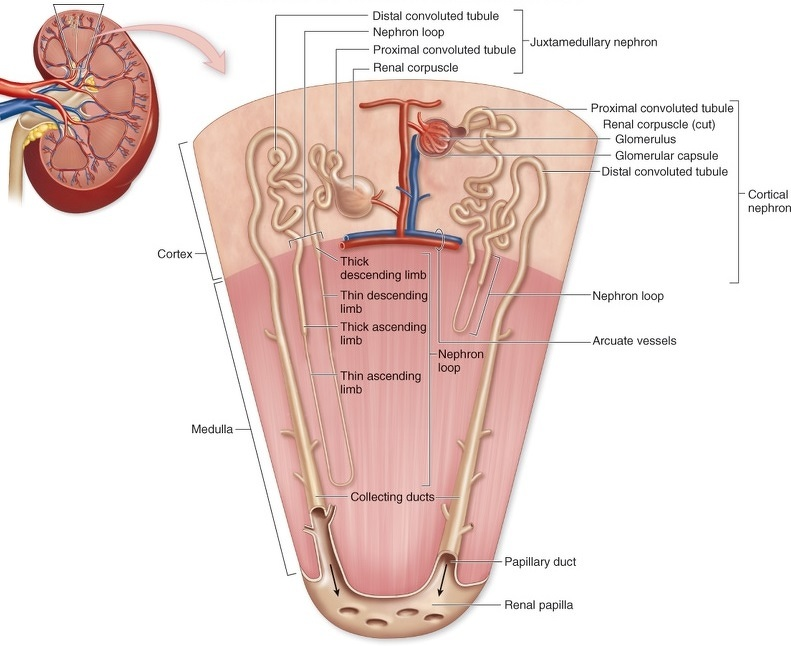 Difference between 1) renal cortex and renal medulla 2)renal pelvis ...
