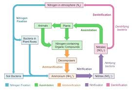 Draw a neat labelled diagram of nitrogen cycle in atmosphere here is ur answer ccuart Images