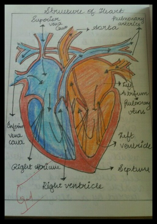 how to draw label diagram of heart - Science - Life ...