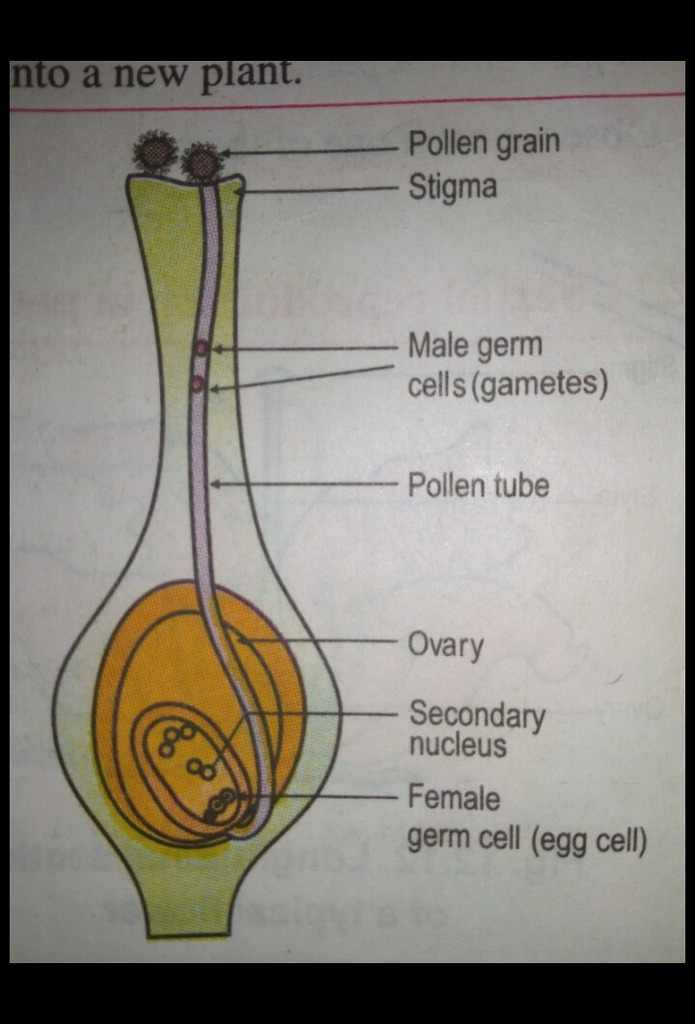 Draw a labelled structure of the following:- a)Stamen b ...