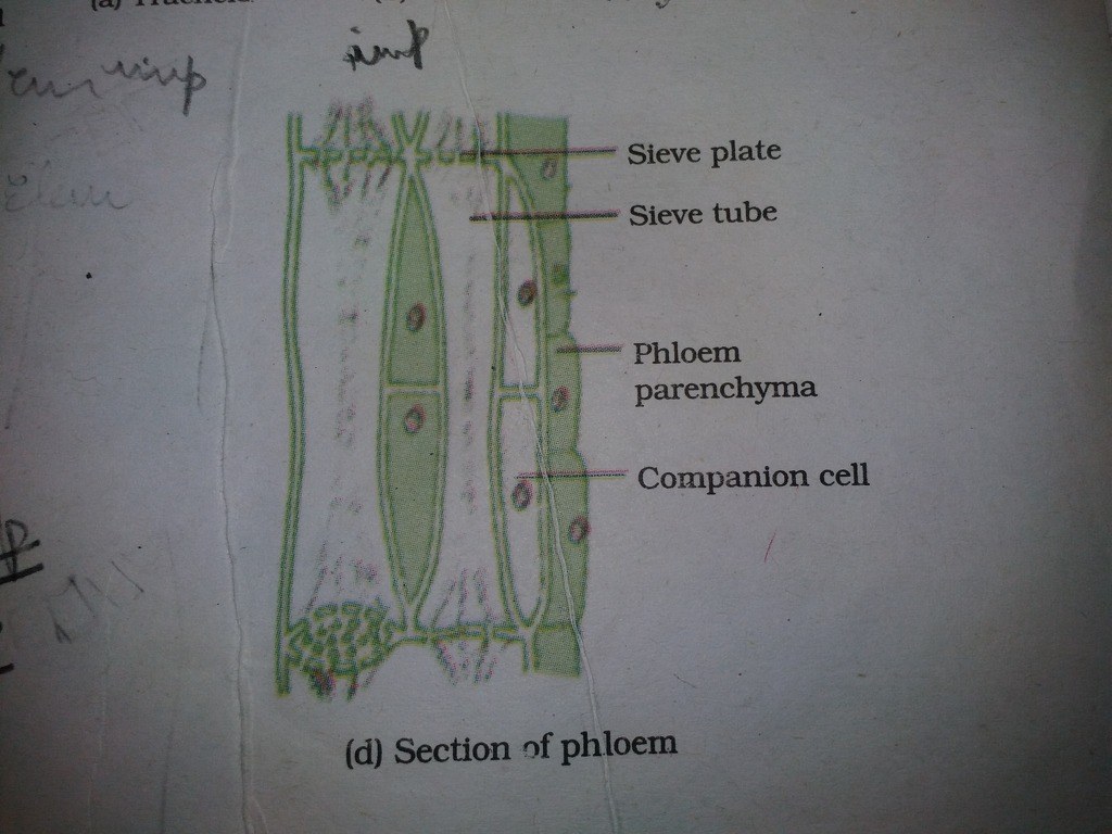 Draw Diagram Of Phloem Tissue And Label On It All Three Elements Of Phloem Science Tissues