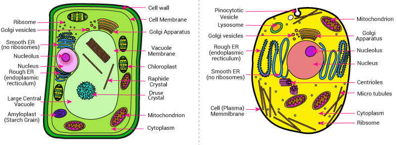 differentiate between plant cells animal cells with the ...