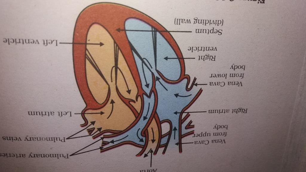 diagram of circulatory system - Science - Life Processes ...