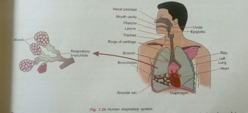 Ques No 27 Draw A Labelled Diagram Of Human Respiratory System