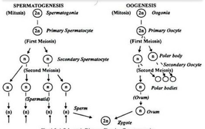 Flowchart of gametogenesis - Biology - Human Reproduction ...