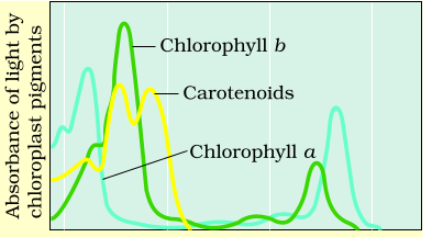 Explain the graphs of photosynthetic pigments clearly the basic the graph shows the absorption spectrum of the photosynthetic pigments according to this graph the chlorophyll a and chlorophyll b absorb maximum light in ccuart Choice Image