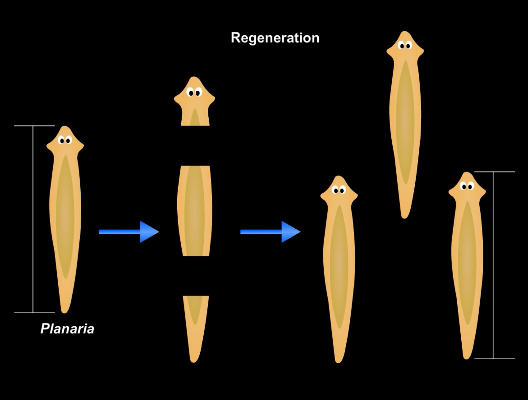 Planarian Regeneration Diagram All Kind Of Wiring Diagrams