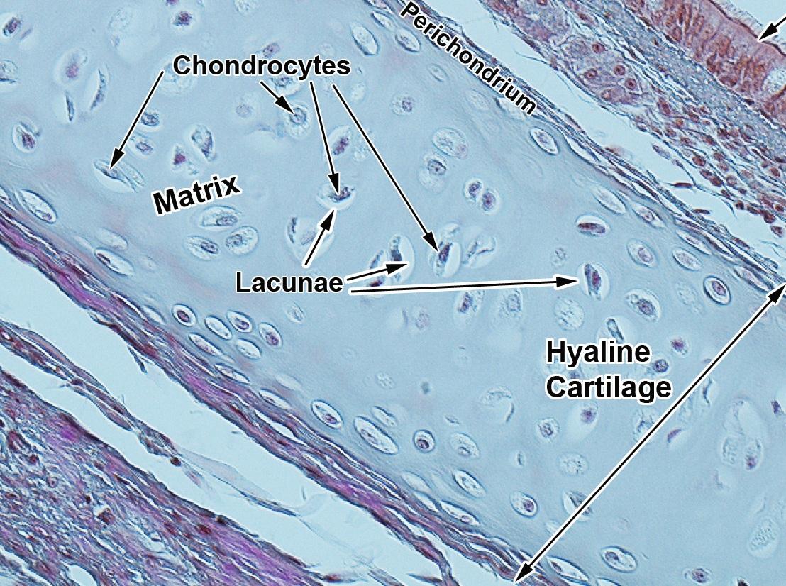 Hyaline Cartilage Diagram