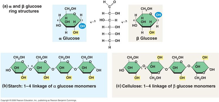 starch glycogen and cellulose Starting from the cellulose which is the monomer of beta glucose and is found in  plant cell wall only while starch and glycogen act as the.
