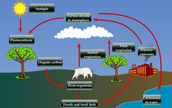 Describe the carbon cycle in detail with diagram its urgent main key process involved in carbon cycle are photosynthesis and respiration ccuart Image collections