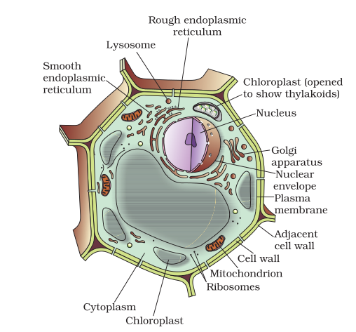 Diagram Of Plant Cell 1593282 Meritnation