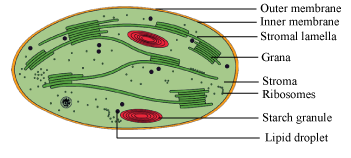What is chloroplast explain briefly with diagram science nutrition expert answer ccuart Images