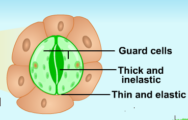 13 what are stomata write theie structure and their function