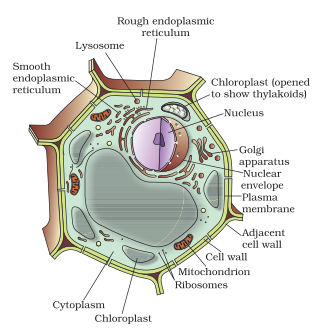 Write a short note on a plant cell 150 to 200 words 2301885 diagram of plant cell ccuart Images